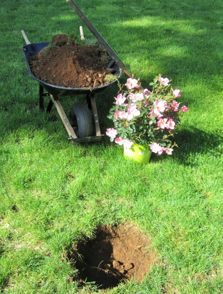 Digging a hole for Rainbow Knockout Rose